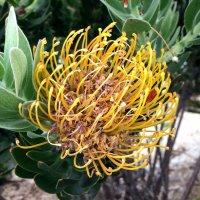 Экзотический цветок Австралии :: Александр Скамо
