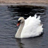 Лебедь белая :: mAri