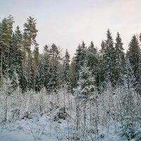 Зимний лес :: Роман никандров