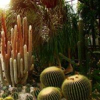Кактусы в Никитском ботаническом саду. :: Любовь К.