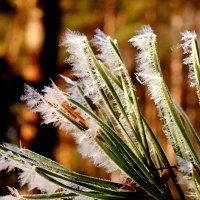 живые иголки с ледяными :: Александр Прокудин