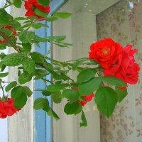Розы заглядывают в окно. :: Оля Богданович