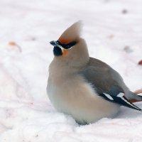 Свиристель на снегу... :: Виктор Колмогоров