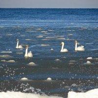 Лебеди на море в Заостровье :: Маргарита Батырева