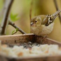 зяблик :: linnud