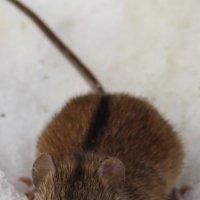 Мышка! :: Борис E