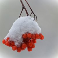 Зимняя гроздь :: Татьяна Соловьева