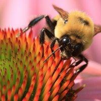 пчёлка на цветке :: Naum