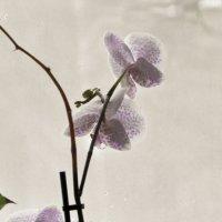 Орхидея :: Нина Алексеева