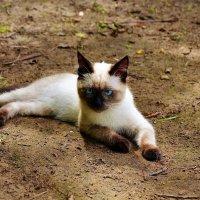 Милый котик Афоня... :: Sergey Gordoff