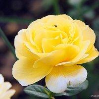 цветочные истории-роза жёлтая :: Олег Лукьянов