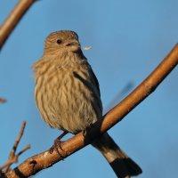 House Finch female :: Naum