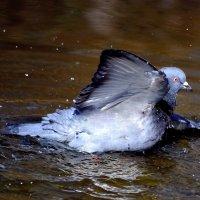 Купание голубя :: Nina Streapan