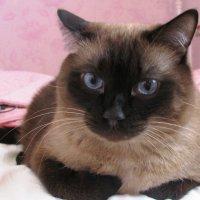 Глава моей кошачьей семьи :: Наталья Петровна Власова