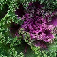 Ещё раз... про капусту :: Ирина Румянцева