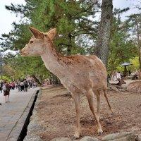 Парк оленей Нара :: Swetlana V