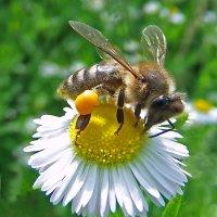 Пчела с обножкой. :: Наталья