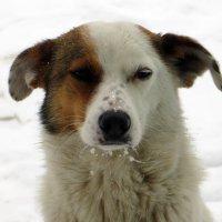 Портрет собаки с отмороженными усиками :: Наталья (D.Nat@lia) Джикидзе (Берёзина)