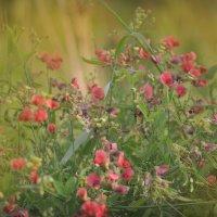 полевые цветы :: Наталья Аверкина
