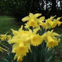 Жёлтые нарциссы--символ Уэльса :: Natalia Harries