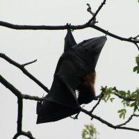 летучая мышь на дереве :: maikl falkon