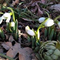 Скандинавские первенцы весны :: Swetlana V