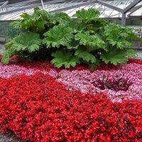 Городские цветы (серия). Гуннера в красно-розовой пене :: Nina Yudicheva