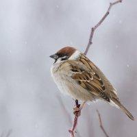 воробей под снегом :: Alex Bush