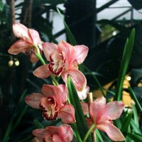 Орхидея :: Валерия Рид