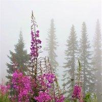 Утренний иван-чай :: Сергей Чиняев