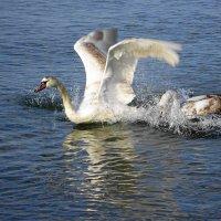 Лебеди на море в Янтарном. Что-то не поделили.. :: Маргарита Батырева