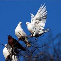 голубятня-ПОЧТАРИКИ :: Gavrila68 -Женя
