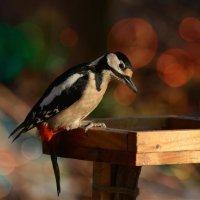 дятел :: linnud