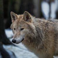 полярный волк :: Владимир Колесников