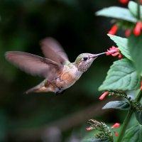 охота на нектар :: Naum