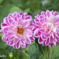 Цветы :: Шахин Халаев