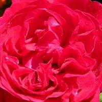 Царица цветов :: Светлана
