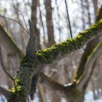 Первая зелень весны. :: Владимир Безбородов
