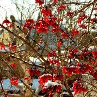 калина на зимней даче :: Александр Прокудин