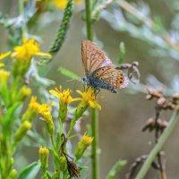 Бабочка из семейства голубянок. :: Владимир M