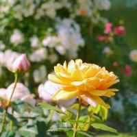 Роза :: Анастасия Белякова