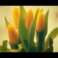 Тюльпаны. :: сергей лебедев