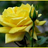 Жёлтые розы надежды... :: Светлана