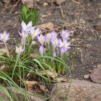первые цветы :: Лада