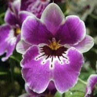 Орхидеи рода Мильтония :: Елена Павлова (Смолова)