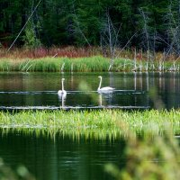 Лебеди на озере. :: Юрий Харченко