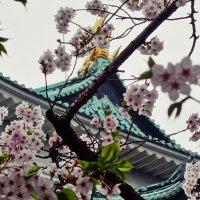 Сакура Храма Нагоя :: Swetlana V
