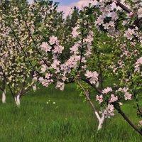 Сибирский яблоневый сад :: Екатерина Торганская