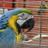 Серьёзный попугай. :: юрий Амосов