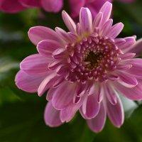 Цветок хризантемы :: Татьяна Соловьева